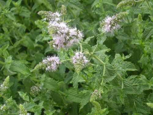 flowering peppermint