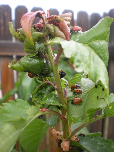 lady bugs finding aphids