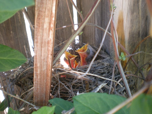 HATCHLING ROBINS WAITNG FOR THEIR MAMA